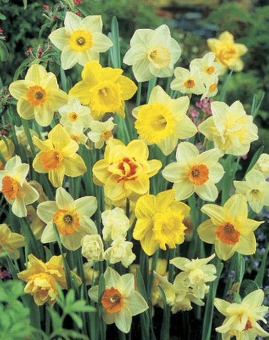 Daffodil & Narcissus Naturalising Mixture