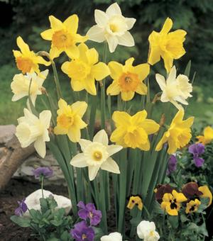 Trompet Narcissen