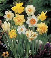 Grootbloemige Narcissen Gemengde (2)