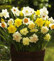 Grootbloemige Narcissen Gemengde (1)