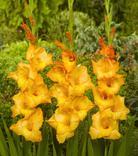Gladiolus Ovation