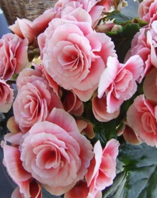 Begonia Dubbel Roze