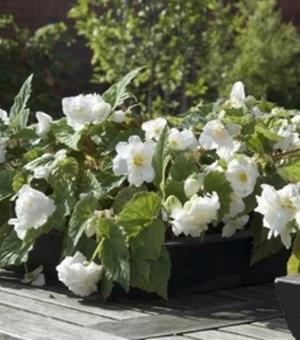 Begonia Cascade Wit