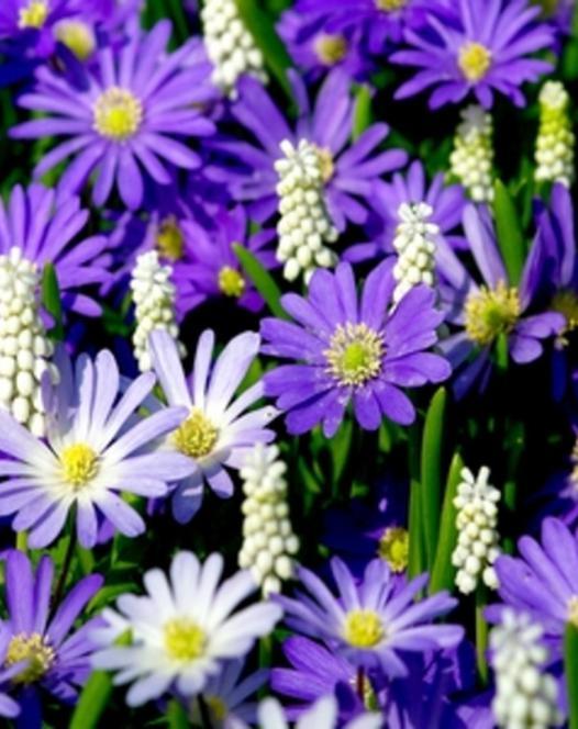 Anemone Blanda Blauw