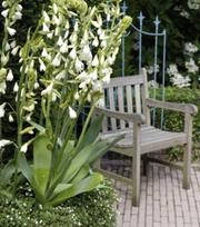 Galtonia Candicans (Hyacinthus)