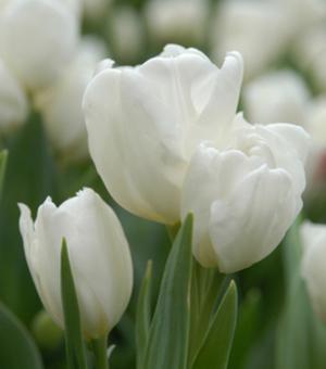 Tulp Purissima (White Emperor)