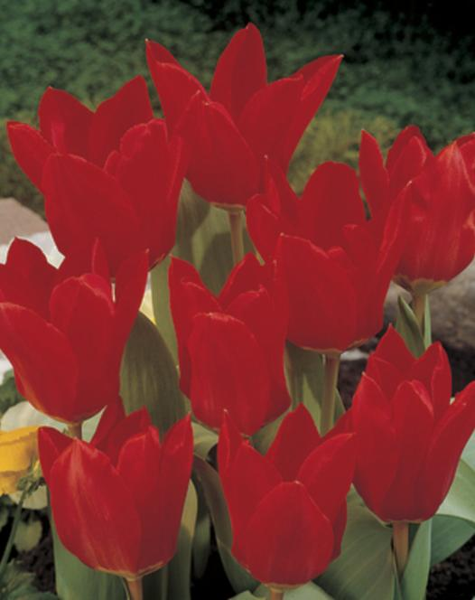 Tulp Red Emperor (Madam Lefeber)