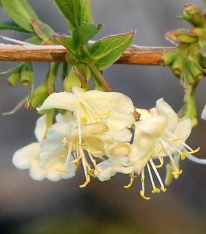 Lonicera Winter Beauty