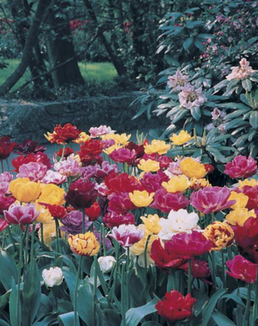 Tulpen Gemengd Dubbel - Vroeg
