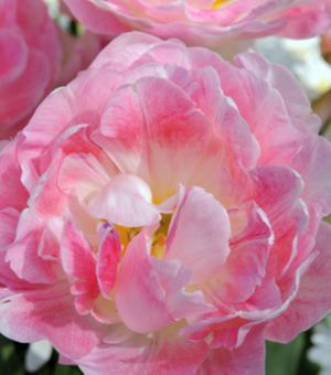 Tulp Peach Blossom