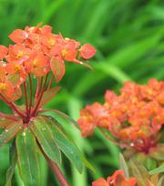 Euphorbia Fireglow