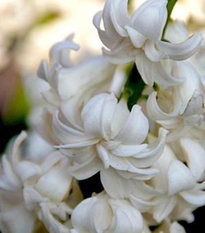 Hyacint Madam Sophie