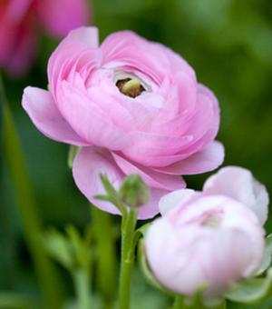 Ranunculus Avia Roze