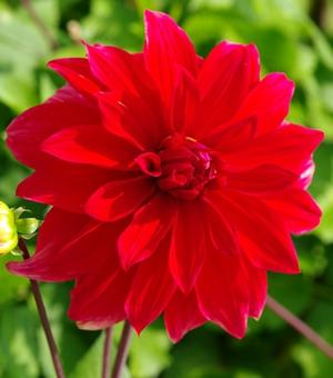 Dahlia Babylon Red