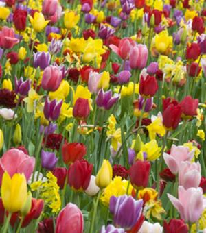 Tulpen Triumph Gemengd