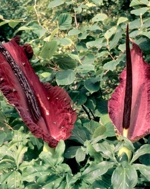 Arum Dracunculus Vulgaris