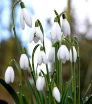 Snowdrop Elwesii 5/6 cm