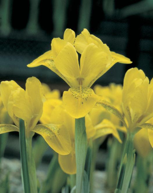 Iris Specie Danfordiae