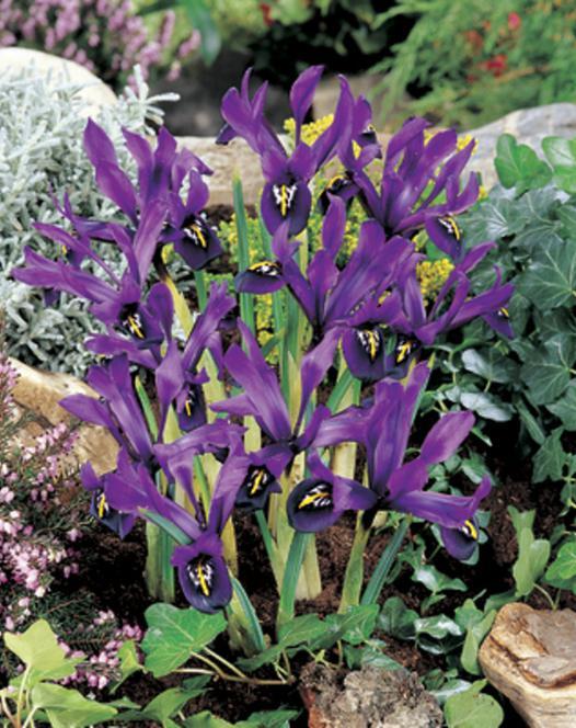 Iris Specie Histrioides George