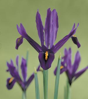 Iris Reticulata J. S. Dijt