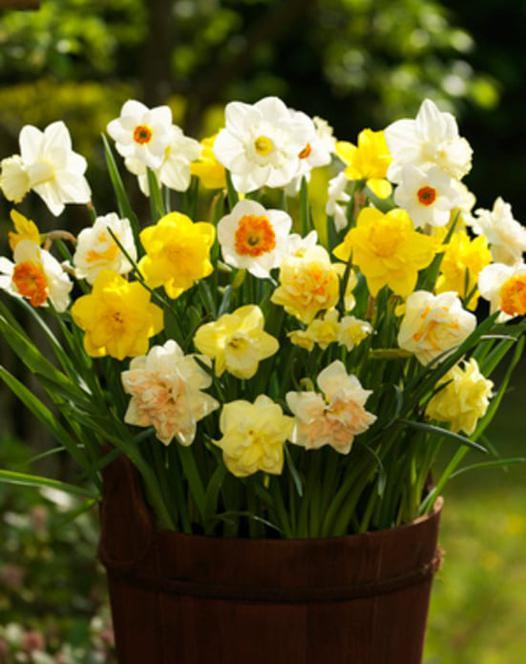 Daffodil & Narcissus Mixture