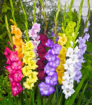 Large Flowering Gladiolus Mixture