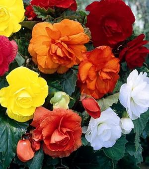 Begonia Double Mixture