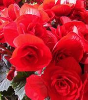 Begonia Double Scarlet