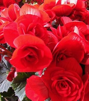 Begonia Double Scarlet