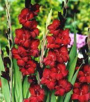 Gladiolus Black Star