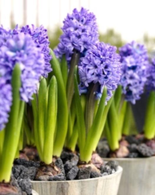 Prepared Hyacinth Delft Blue