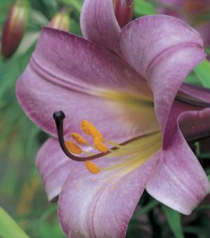 Lilium Pink Perfection