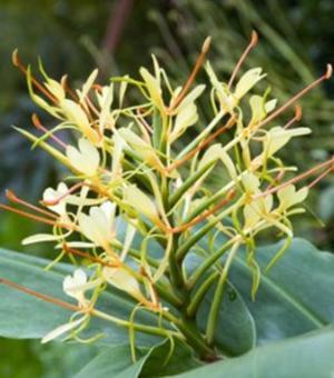 Hedychium Gardnerianum (Kahlil Ginger)