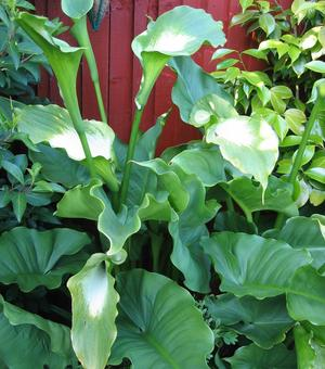 Zantedeschia Green Goddess