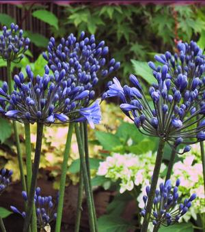 Agapanthus Black Buddhist