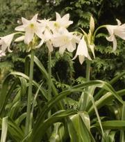 Crinum Powelli Album