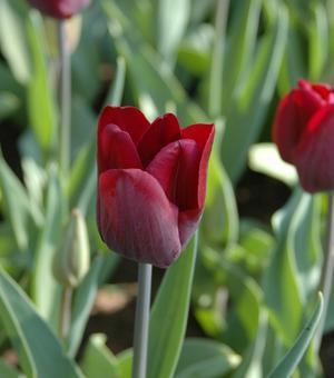 Tulip National Velvet