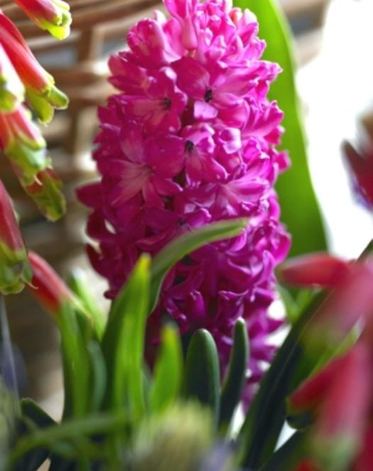 Prepared Hyacinth Jan Bos