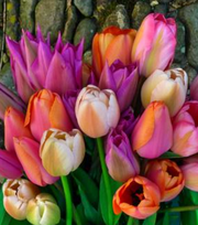 Sorbet Tulip Collection