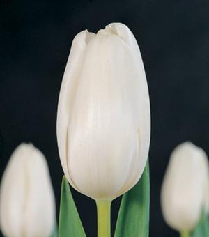 Tulip White Marvel