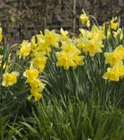 Narcissus Rijnvelds Early Sensation