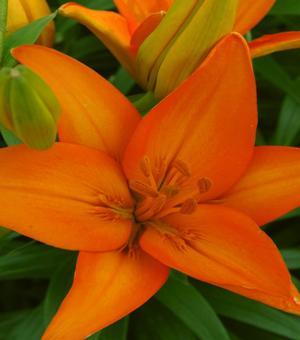 Lilium Orange Ton