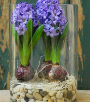 Prepared Hyacinth Blue Star