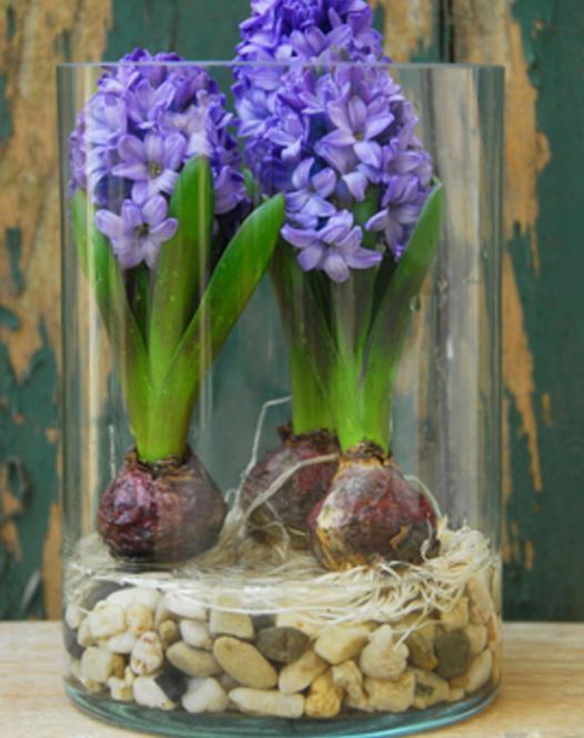 Prepared Hyacinth Blue Star