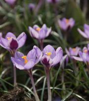 Crocus Sieberi Spring Beauty ®