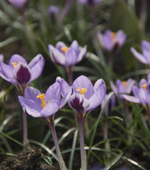 Spring flowering crocus bulbs for sale online crocus sieberi spring beauty mightylinksfo