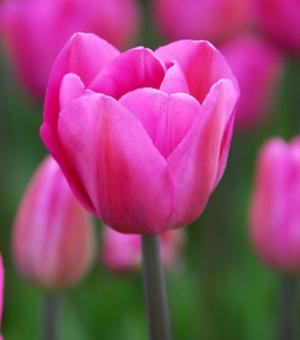 Tulip Don Quichotte