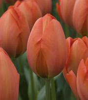 Tulip Orange Sun