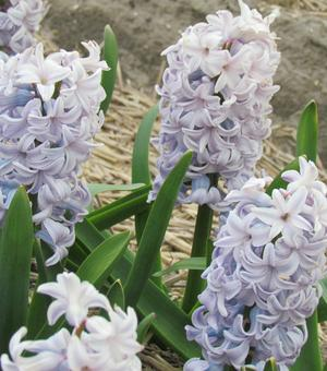 Hyacinth City of Bradford