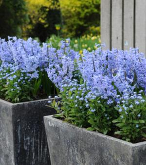 Hyacinth Blue Festival